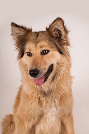 Portrait of mixed breed dog beige color with big ears and semi long hair on white background in studio Stock Photo