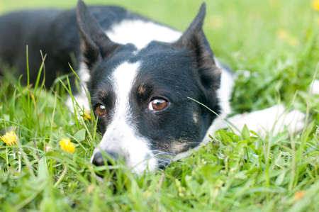 Dog is lying down in green grass and looking at camera at spring in evening