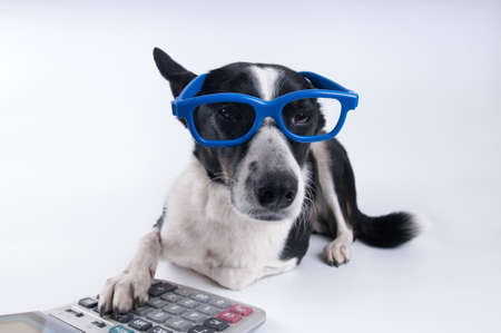 Lying portrait of dog in blue funny glasses with calculator