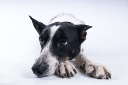 ange: Funny closeup portrait of black and white mixed breed dog lying with sad face Stock Photo