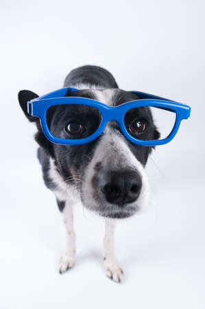 Funny closeup portrait of black and white mixed breed dog standing with cute face in funny blue glasses