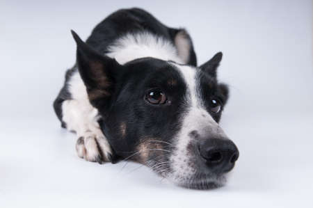 Funny closeup portrait of black and white mixed breed dog lying with sad face Banco de Imagens