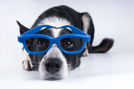 ange: Funny closeup portrait of black and white mixed breed dog lying with sad face in funny blue glasses