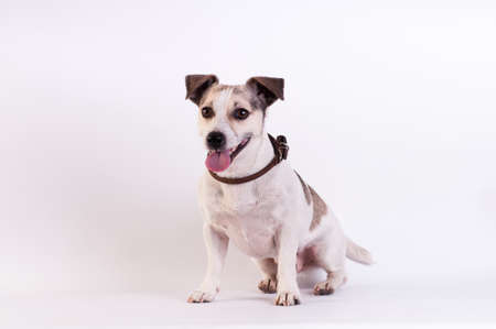 Jack Russell Terrier lying and smiling portrait at studio on white Stock Photo