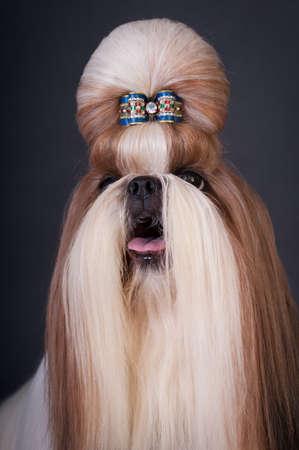 silky hair: Shih tzu dog portrait at studio