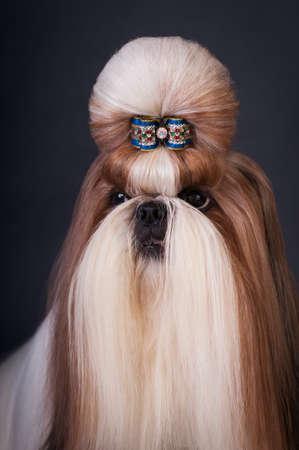 silky hair: Shi tsu show class dog head closeup portrait at studio on black background
