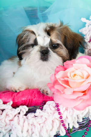 Shih tzu puppy portrait at studio