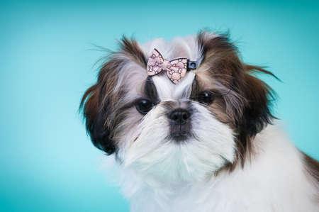 Shih tzu puppy portrait at studio