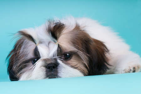 Shih tzu puppy lying with sad face down and looking at camera
