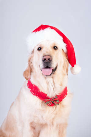 Golden retriever in Christmas style portrait like Santa