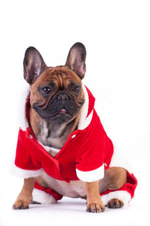 Funny french bulldog in Santa suit