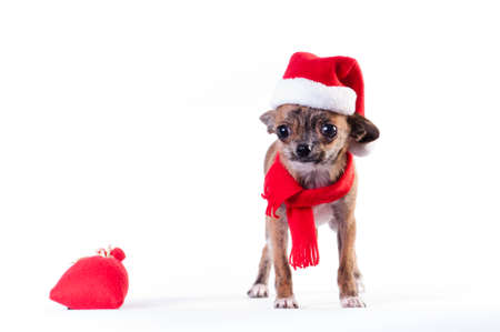 Little chihuahua in Santa suit
