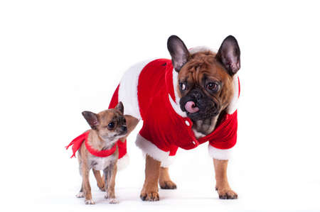 Two Funny dogs in Santa suit