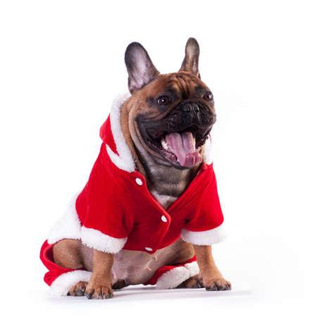 Funny french bulldog in Santa suit yawning isolated on white