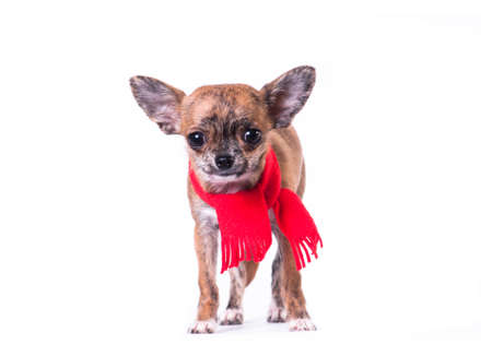 Little chihuahua in Santa suit isolated on white with present bag