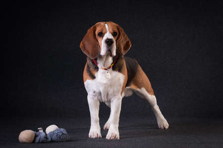 Beagle in studio full body portrait on dark grey background