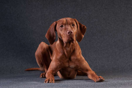 Vizsla studio portrait lying on grey background Stock Photo