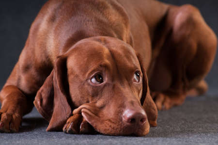 Vizsla studio portrait lying sadly on grey background