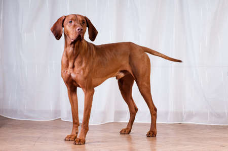 Vizsla studio portrait near white curtains standing full length
