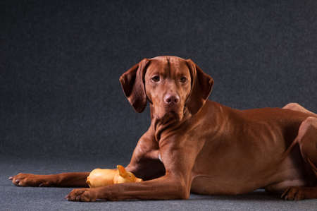 Vizsla studio portrait lying sadly on grey background with toy