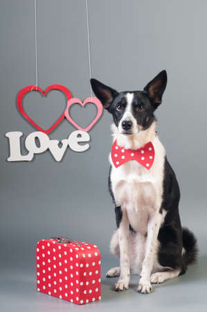 Funny mixed breed dog valentine portrait at studio on grey background with tie bow