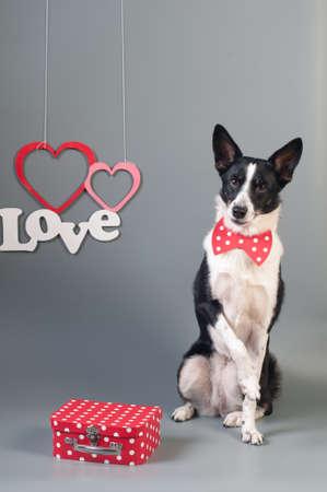 Portrait de valentine drôle de chien de race mixte au studio sur fond gris avec noeud papillon Banque d'images - 95394011