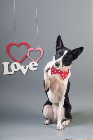 Drôle mixte chien portrait de chien à portrait studio sur fond gris avec noeud papillon Banque d'images - 95256828