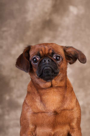 Brabanson dog sitting portrait at studio on brown background Stock Photo