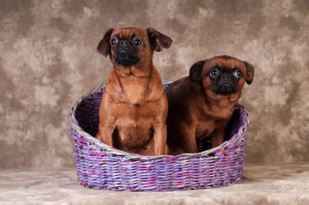 Brabanson dogs portrait at studio on brown background in basket boy and girl