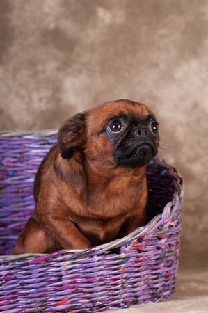 Brabanson dog portrait at studio on brown background in basket Stock Photo