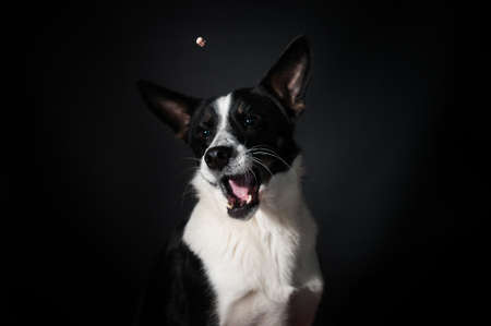 Funny black and white mixed breed dog face portrait at studio on black background