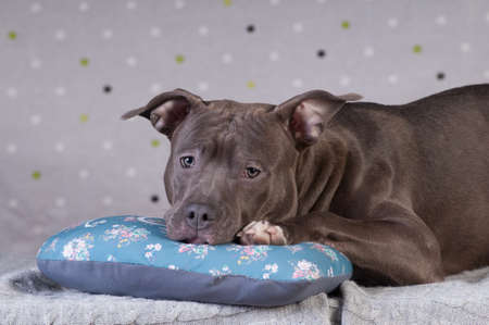 Staffordshire terrier potrait at studio having rest on comfortable blue pillow