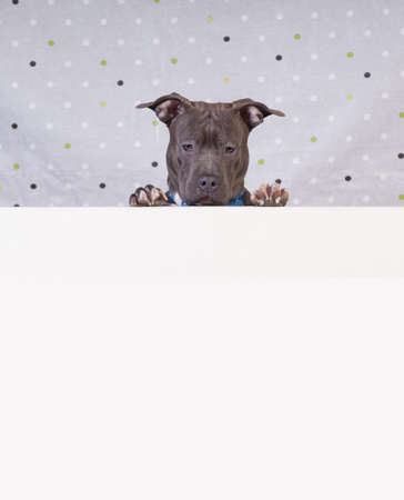 Staffordshire terrier potrait at studio with white copy space downside