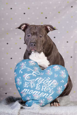 Staffordshire terrier potrait at studio sitting with blue pillow Stock Photo
