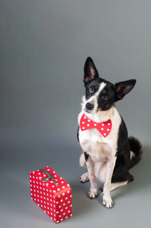 Mixed breed dog with travel box red with white dots sits on plain gray background at studio Stock Photo