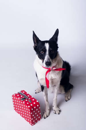 Mixed breed dog portrait on white background with red suitcase Stock Photo