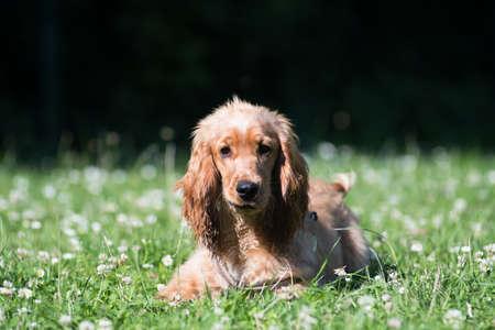 English cocker spaniel puppy six month