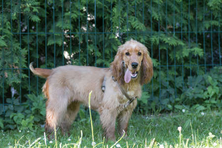 American cocker spaniel puppy six month walking outdoor at summer Stock Photo