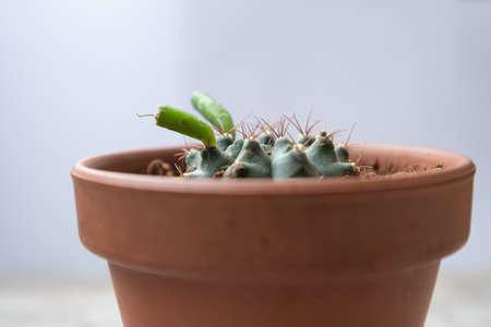 cactus with sprout in ceramic pot