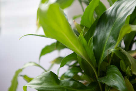 spathiphyllum leaves closeup green background Stock Photo