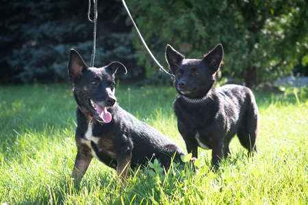 Black dogs outdoor in summer forest green lawn grass Stock Photo