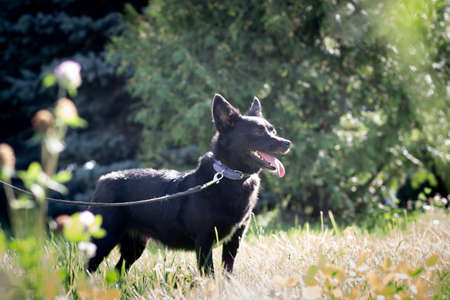 Black dog outdoor in summer forest green lawn grass Stock Photo