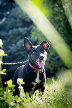 Black mixed breed dog outdoor in summer forest green lawn grass