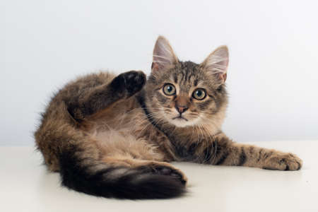 Little four month mixed breed kitten on white background lying with raised paw