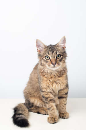 Little four month mixed breed kitten on white background Stock Photo