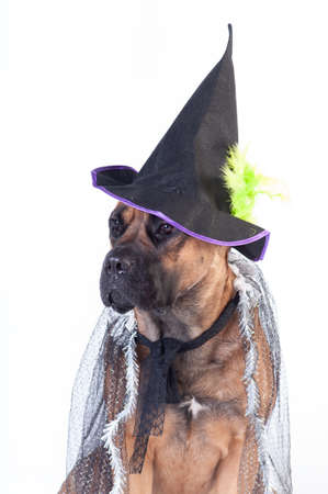 Cane corso in transperent festive mantle and black witch cap on white background