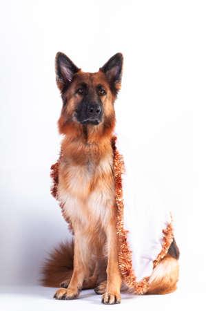 German shepherd portrait in carnaval cloth on white background at studio Stock Photo