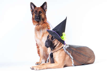 Two big dogs cane corso and german shepherd on white background in costumes of wizard in caps Archivio Fotografico - 111691716