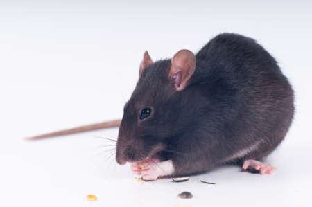 Gray rat eating dry food on white background studio shot Stock Photo