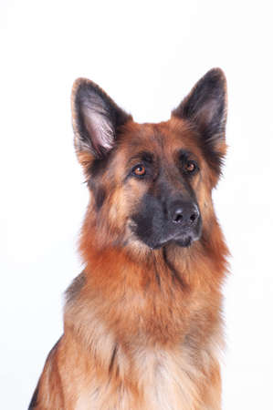 German shepherd dog portrait on white background at studio Stock Photo